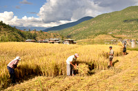 October is the rice harvest month - mostly we saw hand harvesting.