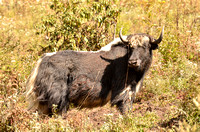 We encountered yaks coming down out of the high alpine country