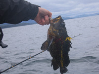 40 specifies of rockfish to pick from